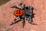 Lentevuurspin, man - Ladybird Spider, male