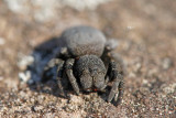 Lentevuurspin, vrouw - Ladybird Spider, female