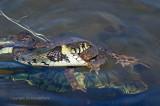 Ringslang vangt pad - Grass snake catches a toad