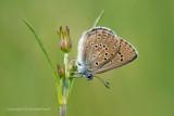 Gentiaanblauwtje - Alcon Blue