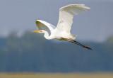 Grote zilverreiger - Western Great Egret
