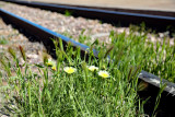 wildflowers on track