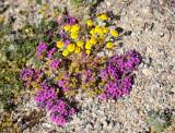 Amboy purple sand verbena yellow flowers