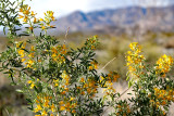 Amboy yellow wildflowers