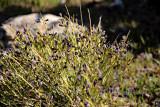 wildflower turpentine broom