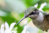 Janice Hummingbirds