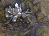 Star Magnolia 1 16 x 21