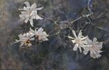 Star Magnolias 24 x 36