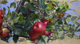 Ripening Apples 15 x 31