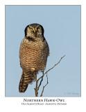 Northern Hawk-Owl-087