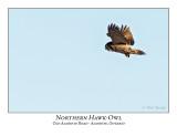Northern Hawk-Owl-089