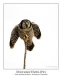 Northern Hawk-Owl-090