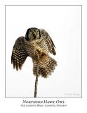 Northern Hawk-Owl-091