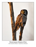 Northern Hawk-Owl-092