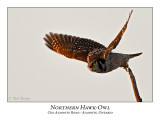 Northern Hawk-Owl-093