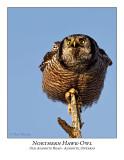 Northern Hawk-Owl-095