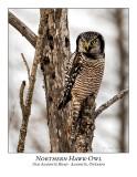 Northern Hawk-Owl-096