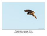 Northern Hawk-Owl-097