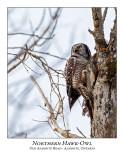 Northern Hawk-Owl-098