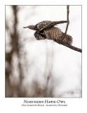 Northern Hawk-Owl-099