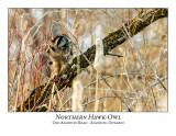 Northern Hawk-Owl-100