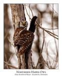 Northern Hawk-Owl-101