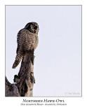 Northern Hawk-Owl-102