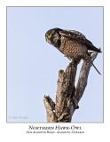 Northern Hawk-Owl-103