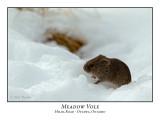 Meadow Voles