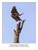 Northern Hawk-Owl-104