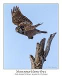 Northern Hawk-Owl-105
