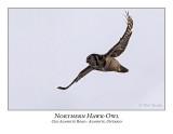 Northern Hawk-Owl-106