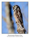 Northern Hawk-Owl-107