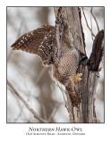 Northern Hawk-Owl-108