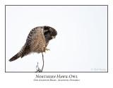 Northern Hawk-Owl-109