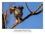 Northern Hawk-Owl-110