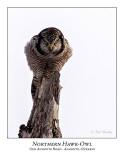 Northern Hawk-Owl-111