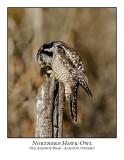 Northern Hawk-Owl-116
