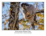 Northern Hawk-Owl-117