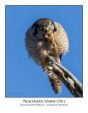 Northern Hawk-Owl-118