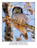 Northern Hawk-Owl-119