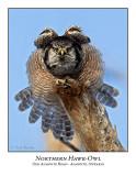 Northern Hawk-Owl-120