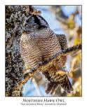 Northern Hawk-Owl-121