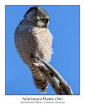 Northern Hawk-Owl-122