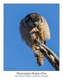 Northern Hawk-Owl-123