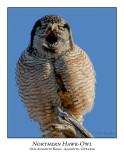 Northern Hawk-Owl-124