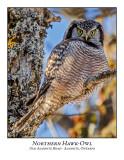 Northern Hawk-Owl-125