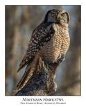 Northern Hawk-Owl-126