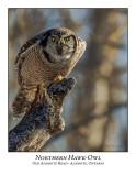Northern Hawk-Owl-127