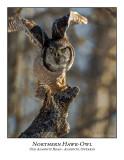 Northern Hawk-Owl-128